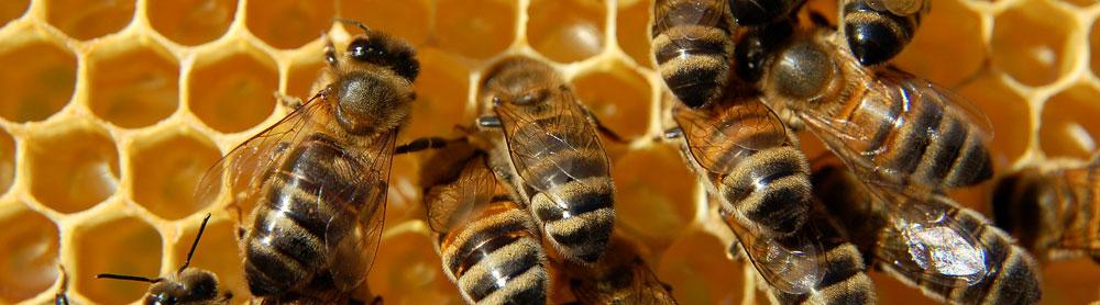 Bienenmilch Forschung